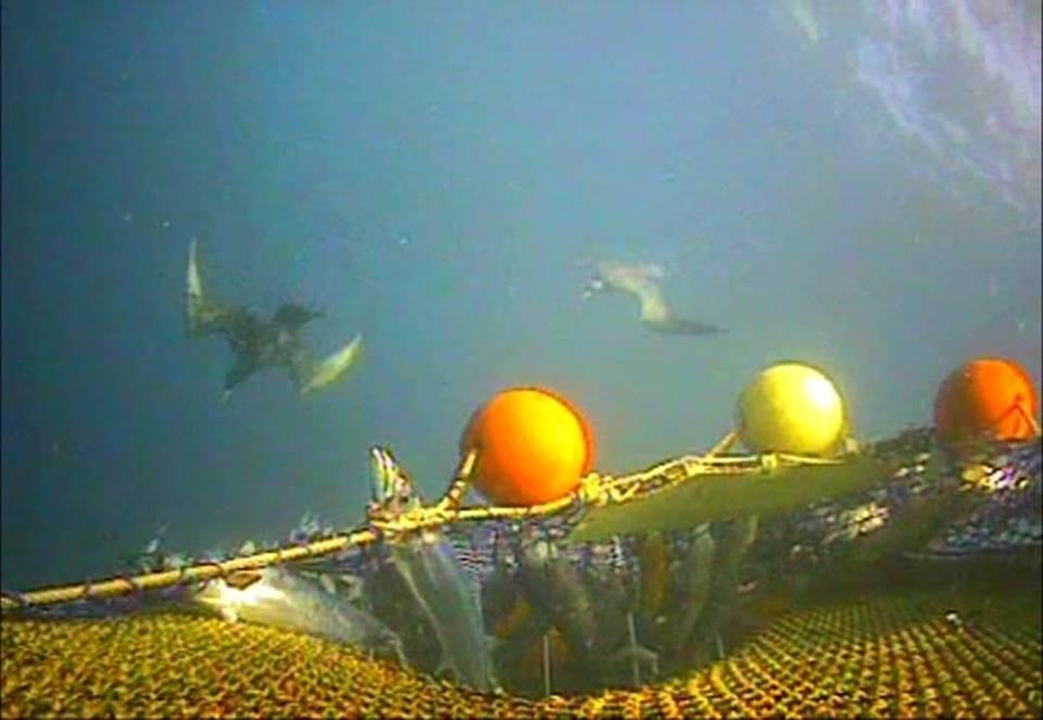 Seabirds swim at a trawl net