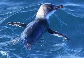Penguin, Little Blue