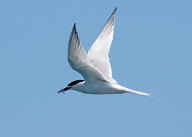 Tern, White Fronted