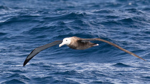 Antipodean Albatrosses need help