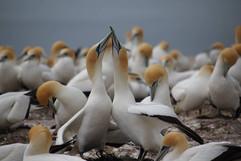 Gannet, Australasian