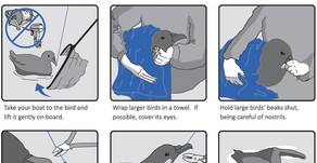 How to Release a Seabird