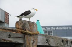 Gull - Black Backed