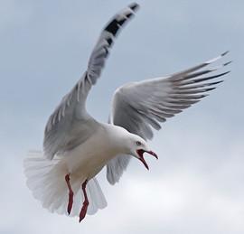 Gull, Red Billed