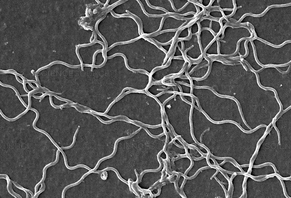 Lyme Disease bacteria strain