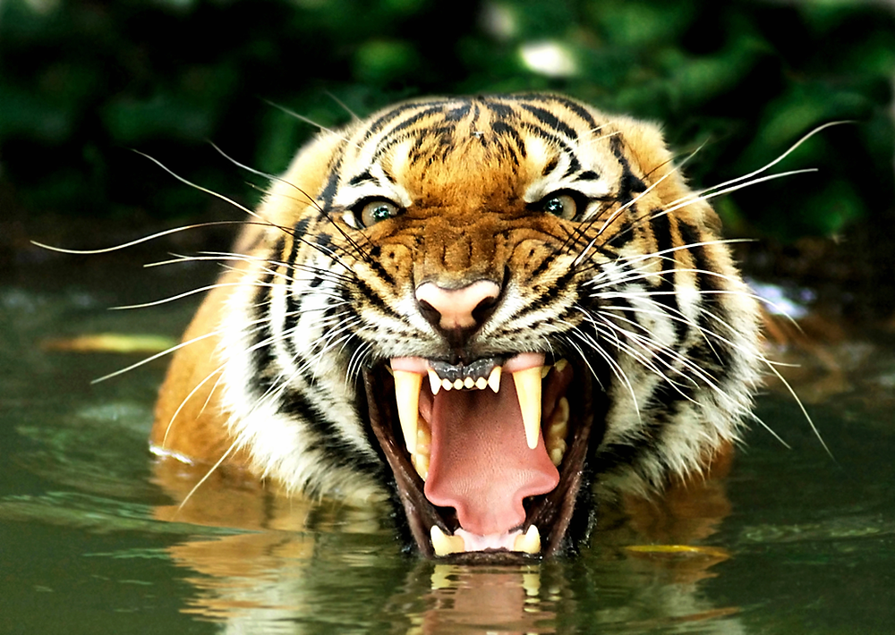 The 'Fight or Flight' response was designed to help humans survive things like tiger attacks.