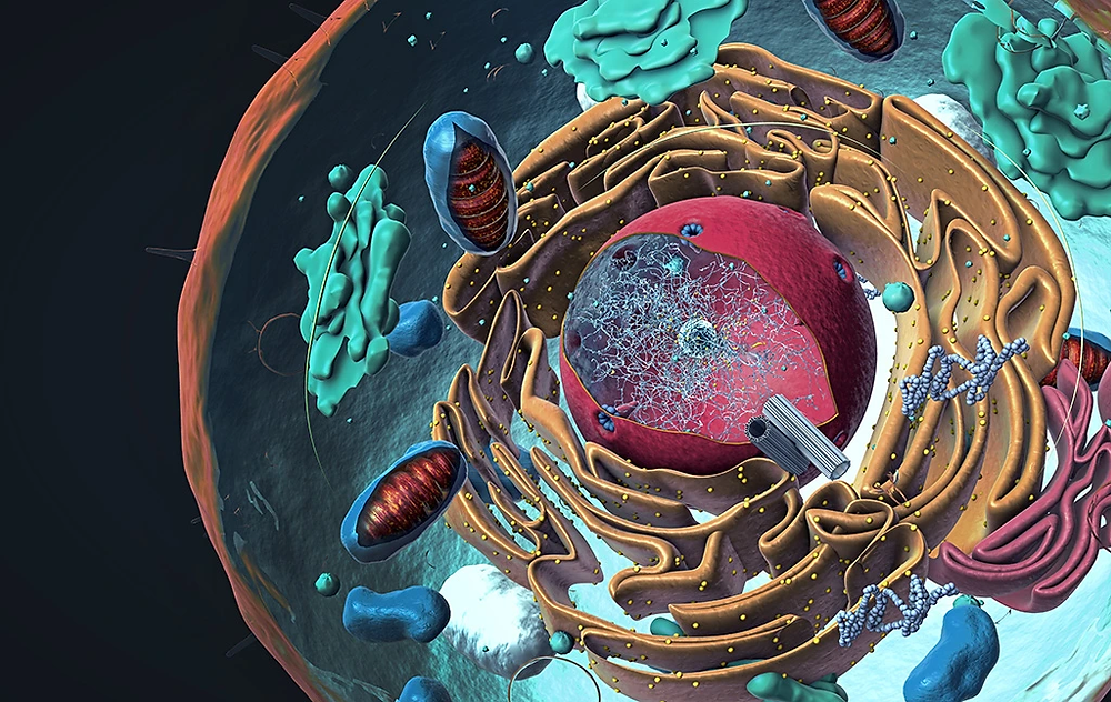 Cross-section of a cell shows the organelles, include mitochondria - the power plants for life.