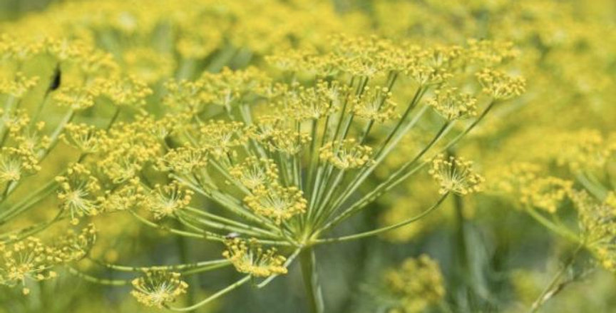 FENNEL OIL, SWEET, EGYPT