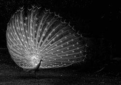 White Peacock, Ireland