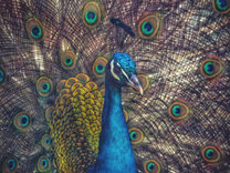 Peacock, Ireland