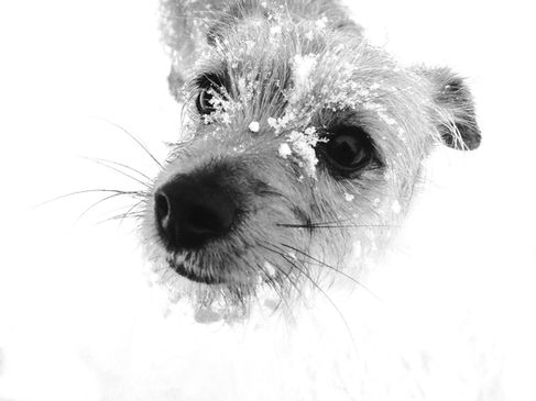 pet photography meath, terrier dog cute, rescue dog meath, pawtrait, pet photographer ireland, dog in scow, dog black and white