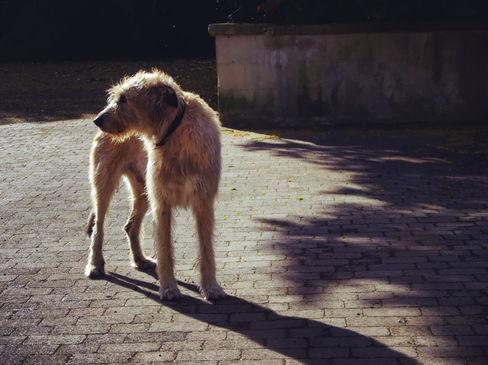 pet photography meath, irish wolfhound, brittas estate nobber,pawtrait, pet photographer ireland, dog photographer ireland