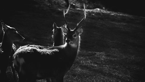 Sika Stag, Ireland
