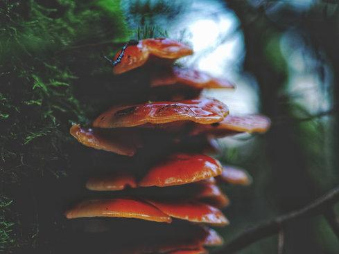 Mushrooms, Ireland