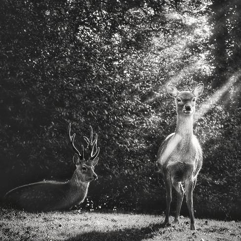 Sika Doe and Stag, Ireland