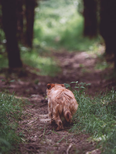 pet photography meath, terrier dog cute, rescue dog meath, pawtrait, pet photographer ireland, dog walking in forest