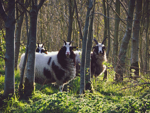 Jacobs Sheep, Ireland
