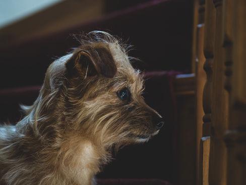 pet photography meath, terrier dog cute, rescue dog meath, pawtrait, pet photographer ireland
