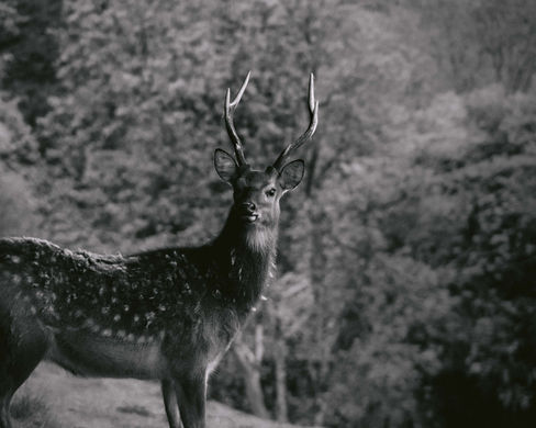 Sika Stag Ireland