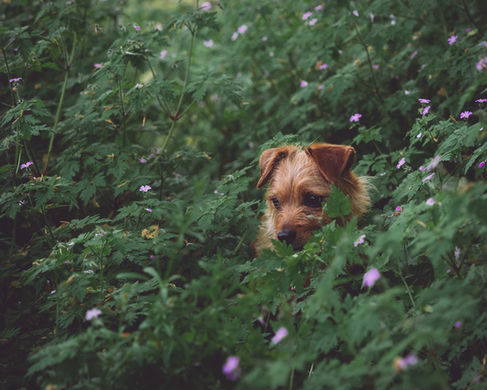 pet photography meath, terrier dog cute, rescue dog meath, pawtrait, pet photographer ireland, dog in flowers