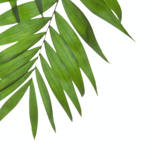 Palm%20Tree%20Leaves_edited.png