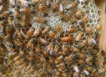 やっと蜜を集め始めました~🌸
