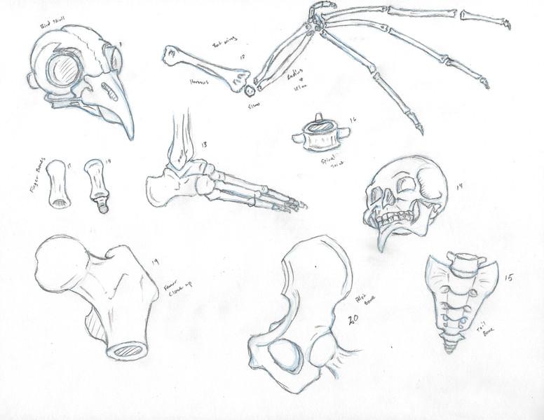 Bone Study 3