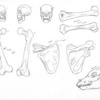 Bone Study 1