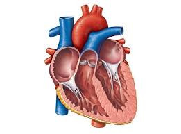 Healthy Heart Benefits from Strength Training