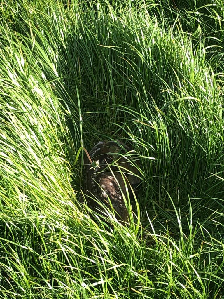 Rehkitz 2 im Gras