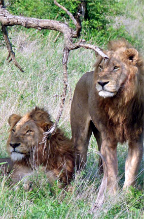 Lions pic.png