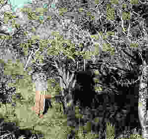 Wild Horizon hunter stalking through the bush