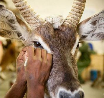 Lifelike taxidermy relies on proper management from shot to delivery to the taxidermist.