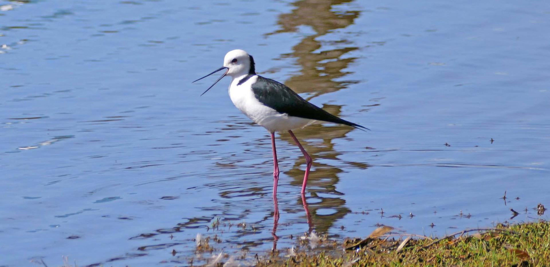 Black-winged or Pied Stilt