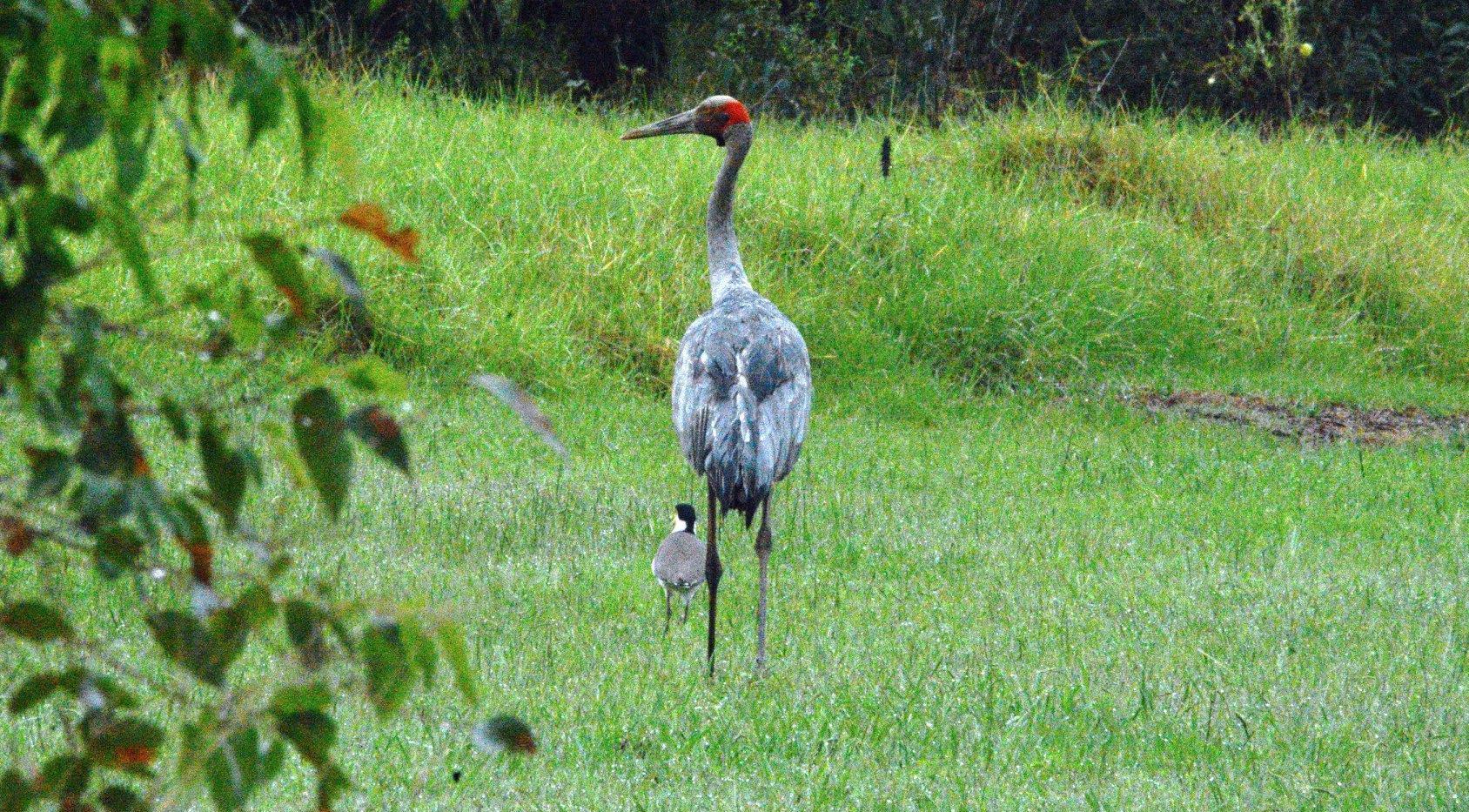 Brolga or Australian Crane