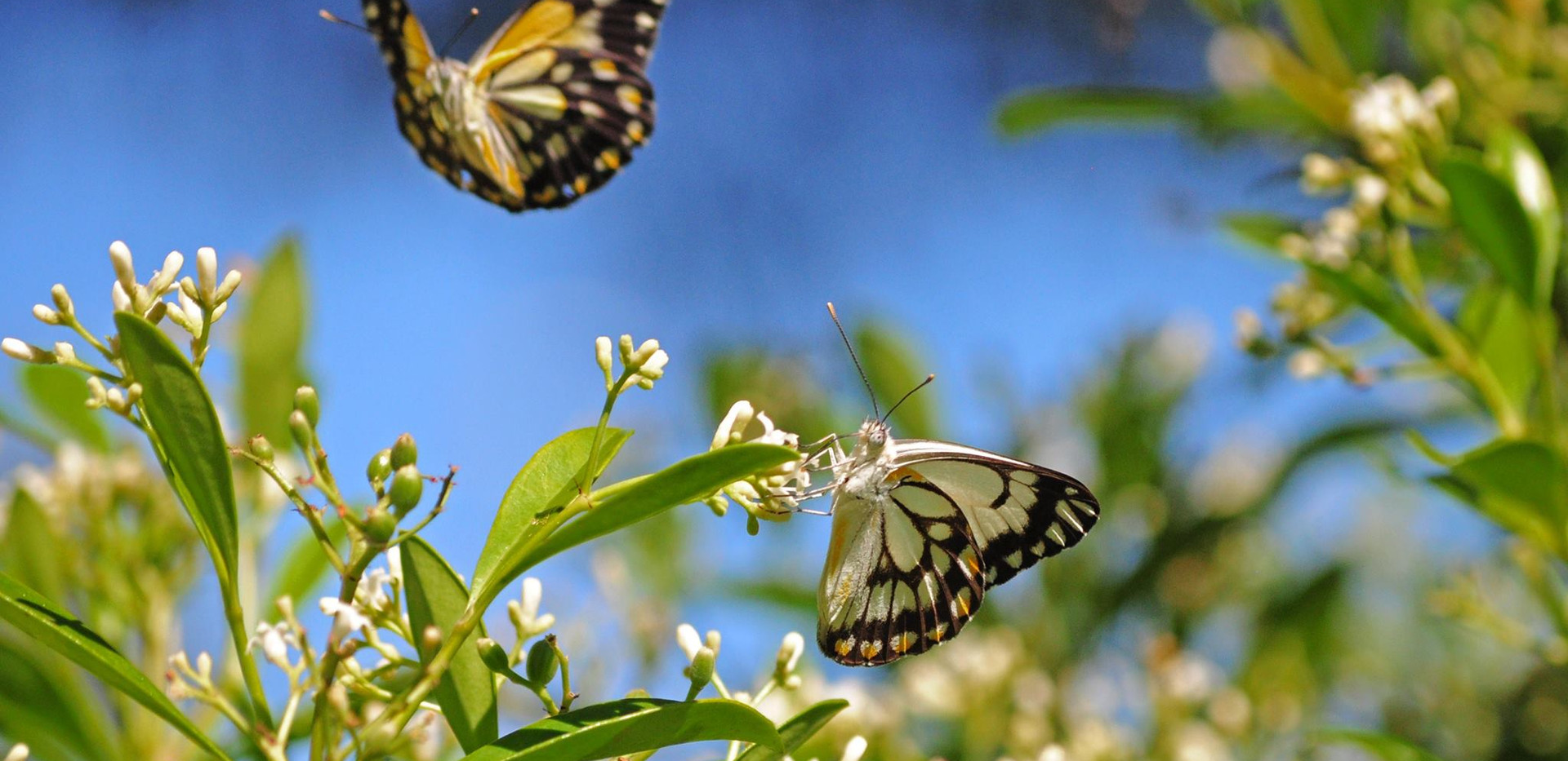 Caper White Butterflies Female inflight