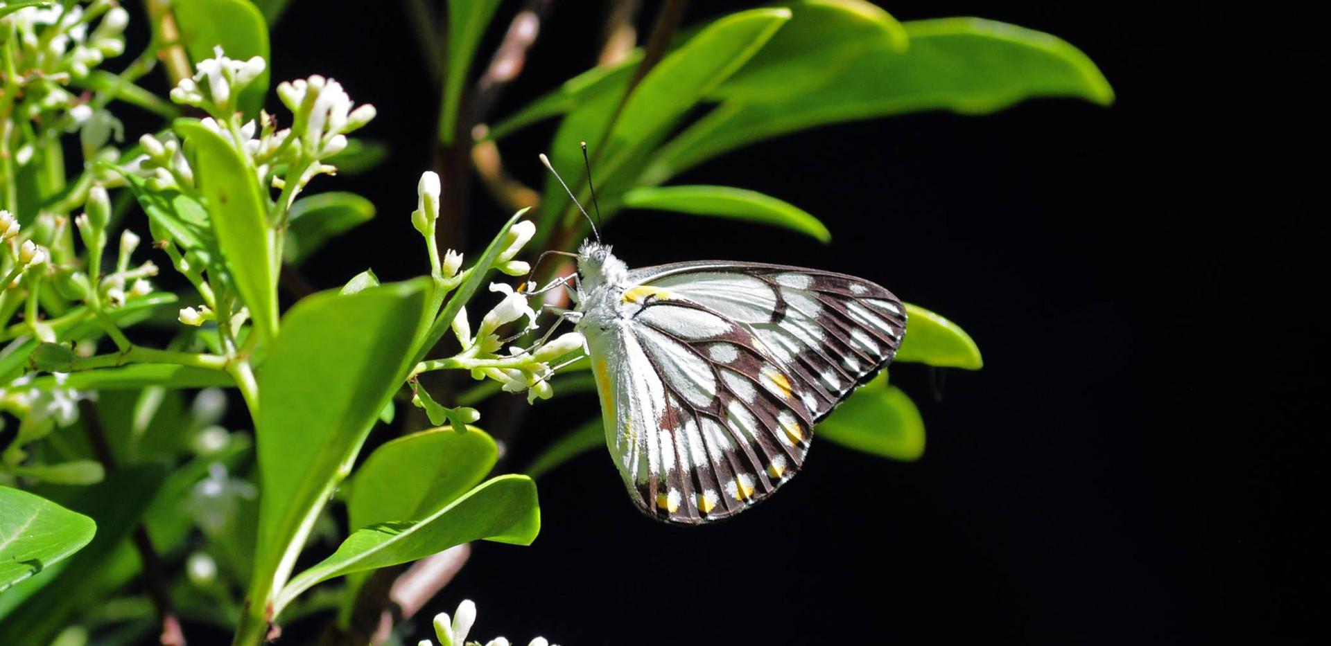 Caper White Butterfly - Male