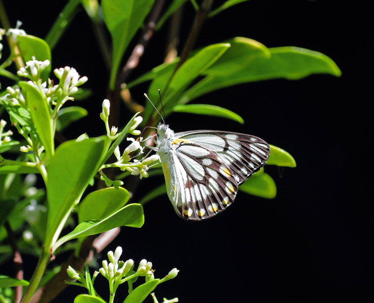 Caper White Butterfly - Male