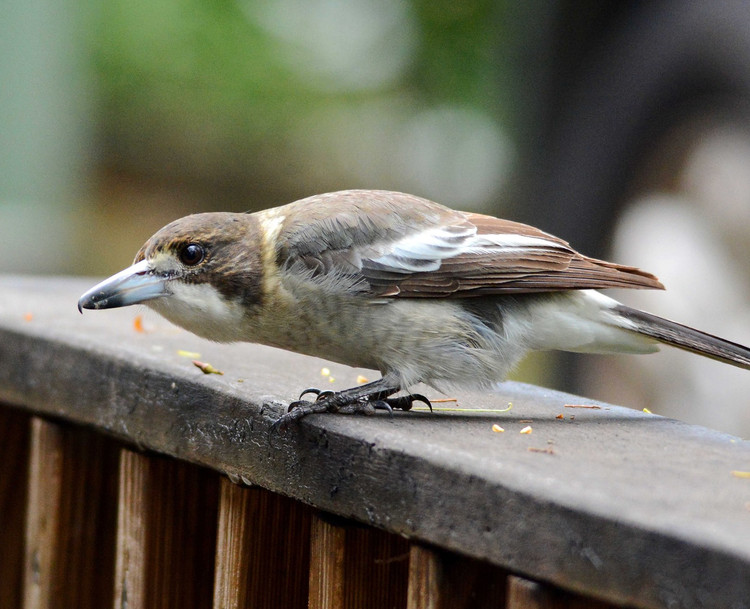 Grey Butcher Bird Juvenile