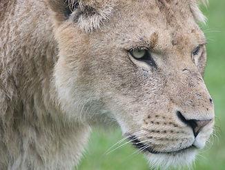 Lion optimised