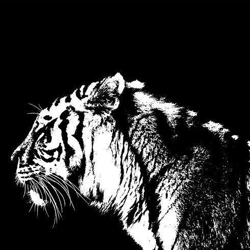 Nature photography of white on black Tiger at longleat safari park somerset .jpg