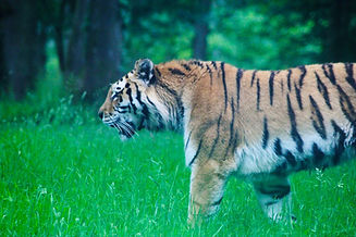 Nature photoghraphy of tiger at longleat safari park in Somerset