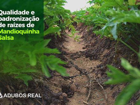 Qualidade e padronização de raízes de mandioquinha-salsa.