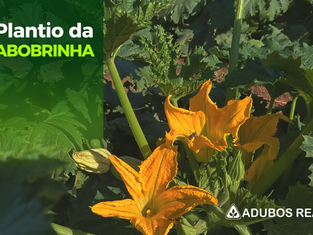 Promova plantas de abobrinha sadias e vigorosas.