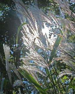 prairie grass #2