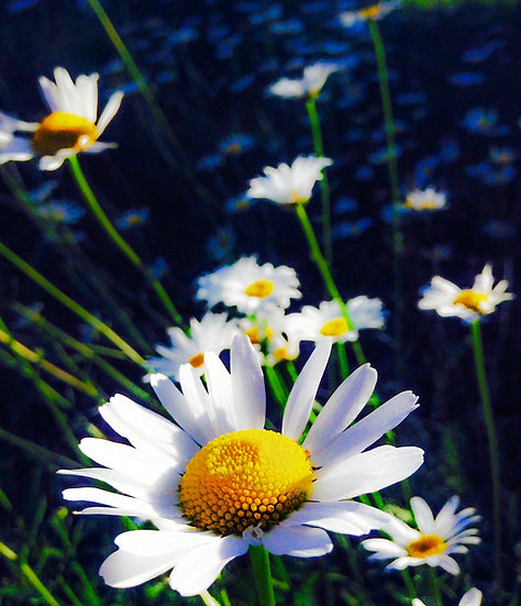 Photograph of a daisy with more daisies in the background