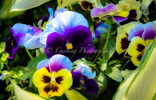 Purple and yellow flowers nature photography united states photograph of yellow and purple pansy flowers in bloom mightylinksfo