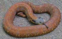 bull snake