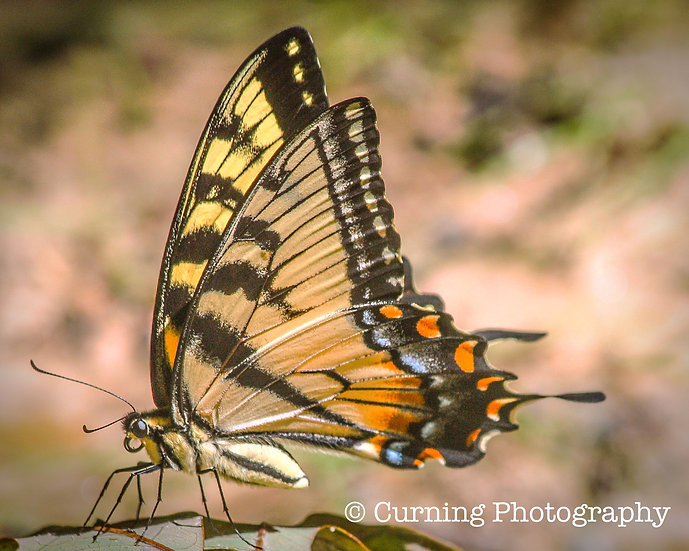 photograph of a yellow and black swallow tail butterfly close up
