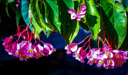 Pink hanging flowers photograph of pink hanging flowers with a dark blue background mightylinksfo